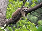 Lazy Summer day Raccoon – Lasalle Park Burlington On.