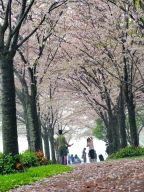Burlington Ontario Cherry Blossom festival